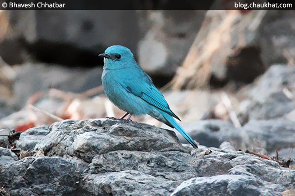 Beautiful Verditer flycatcher hiding behind a rock [Eumyias thalassinus, Stoparola melanops, Eumyias thalassina]
